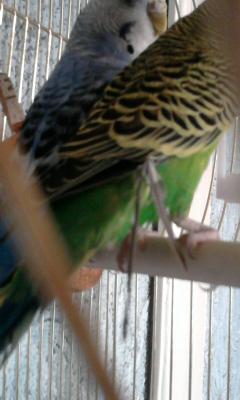 Волнистый попугай. Выпадают перья. - 003.jpg