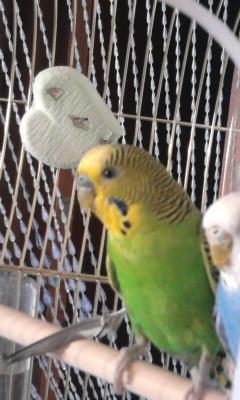 Волнистые попугаи. - 004.jpg