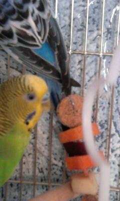 Волнистые попугаи. - 005.jpg