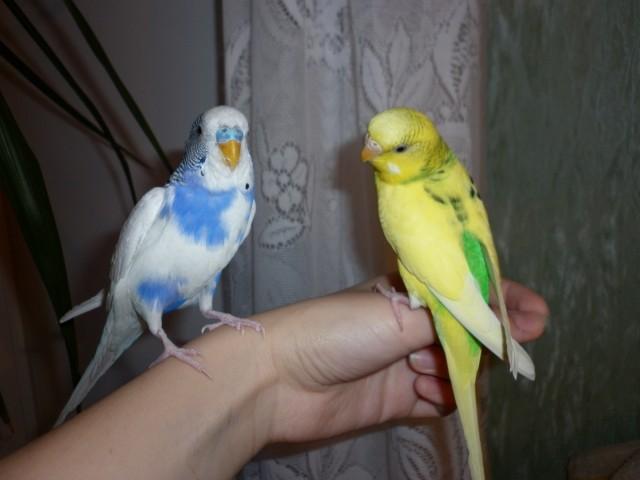 Волнистые попугайчики, Гоша и Юки, по 1,5 годика вроде бы им)) - Гоша и Юки.JPG