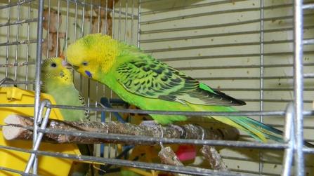 Заботливый папаша ))) - Самец волнистого попугая кормит птенца.JPG