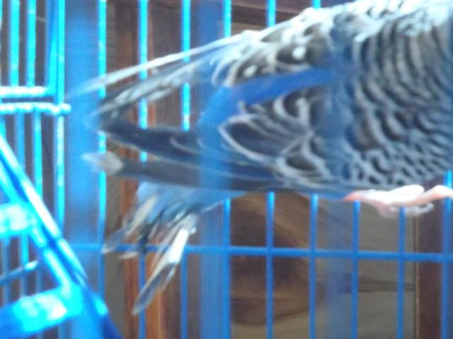 Волнистый попугай. - P6080394.JPG