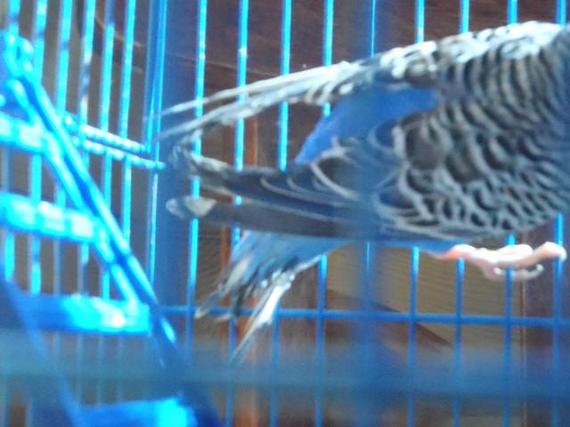 Волнистый попугай. - P6080398.JPG