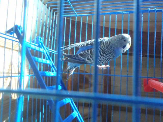 Волнистый попугай. - P6080397.JPG