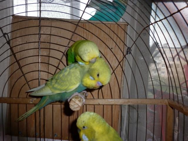мои птички - P1020997.JPG