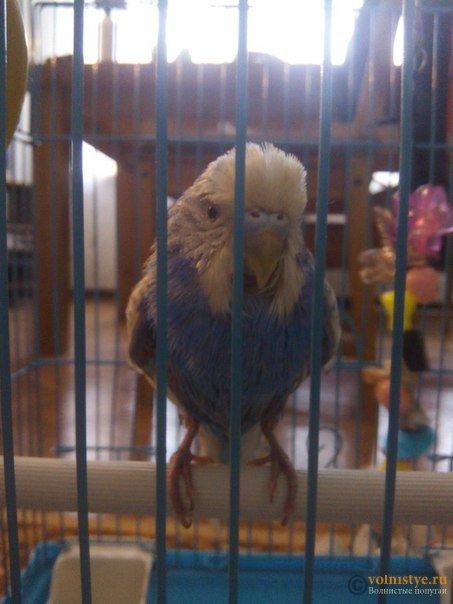 У попугая покраснела кожа - p3xFCJW7_X4.jpg