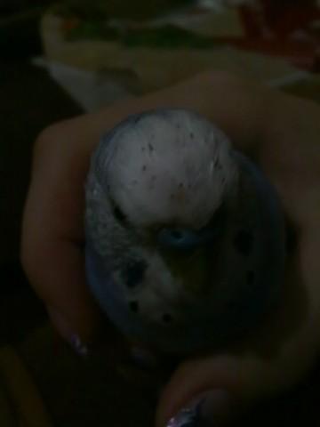 Волнистый попугай. - 28062012111.jpg