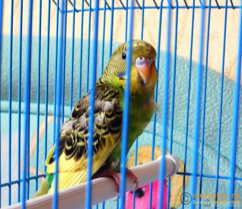 Определение пола и возраста попугаев № 9 - DSCN0440.JPG