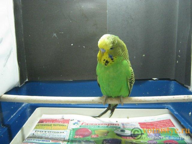 Волнистые попугаи выставочного типа молодежь Москва - IMG_7857.JPG