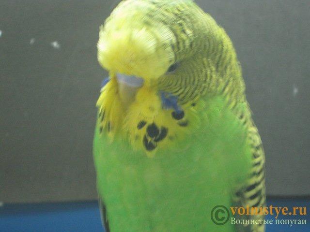 Волнистые попугаи выставочного типа молодежь Москва - IMG_7860.JPG