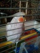 Определение пола и возраста попугаев корелла - 6aAqjZDABTE.jpg