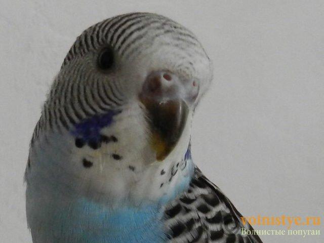 Определение пола и возраста попугаев № 10 - RSCN2301[1].JPG