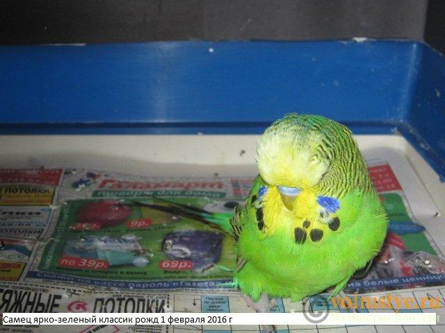 Волнистые попугаи выставочного типа молодежь Москва - IMG_8056.JPG