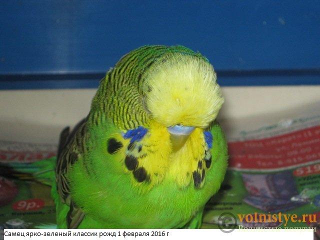 Волнистые попугаи выставочного типа молодежь Москва - IMG_8060.JPG