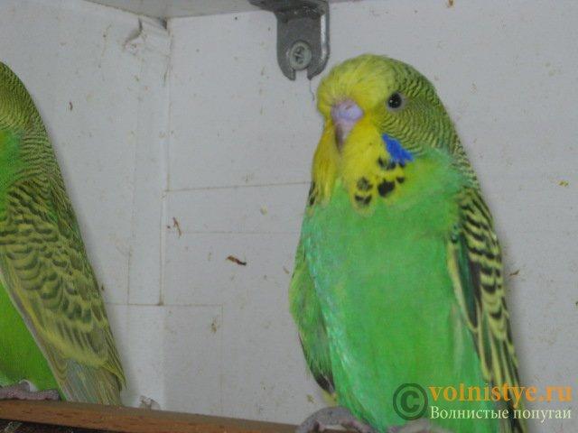 Волнистые попугаи выставочного типа молодежь Москва - IMG_8256.JPG