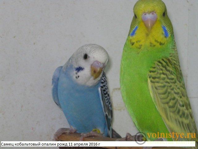 Волнистые попугаи выставочного типа молодежь Москва - IMG_8253.JPG
