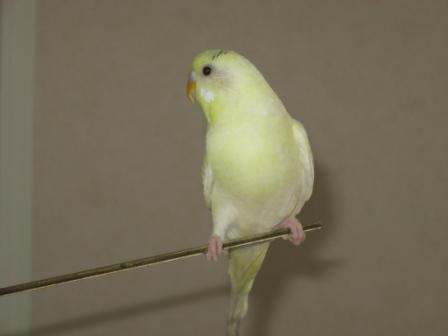 Определяем пол и возраст попугаев - 2 - Xen-the-Parrot_ 001.jpg