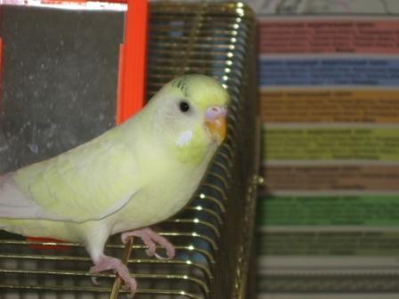 Определяем пол и возраст попугаев - 2 - Xen-the-Parrot_ 004.jpg