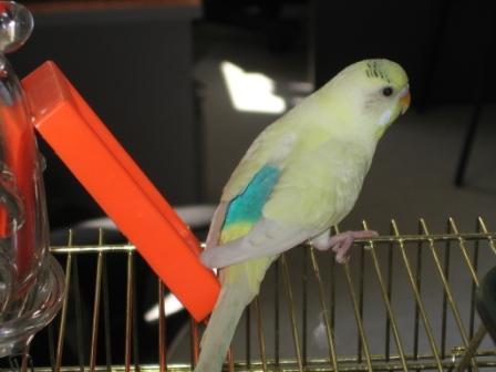 Определяем пол и возраст попугаев - 2 - Xen-the-Parrot_ 006.jpg