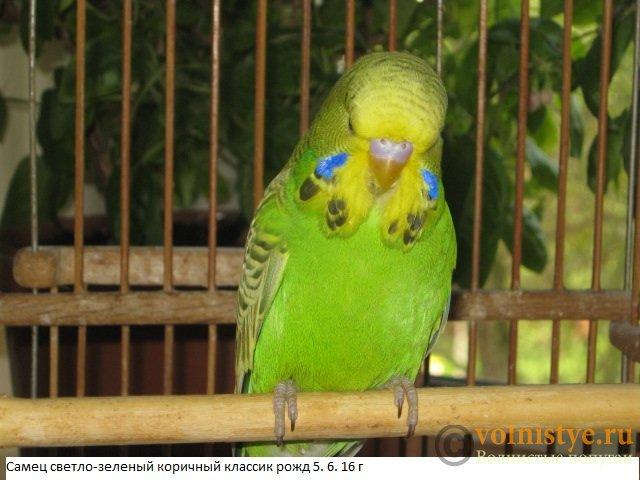 Волнистые попугаи выставочного типа молодежь Москва - IMG_8390.JPG