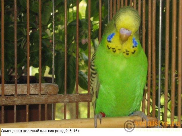 Волнистые попугаи выставочного типа молодежь Москва - IMG_8384.JPG