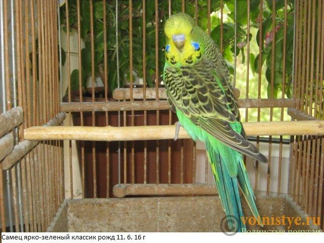 Волнистые попугаи выставочного типа молодежь Москва - IMG_8379.JPG