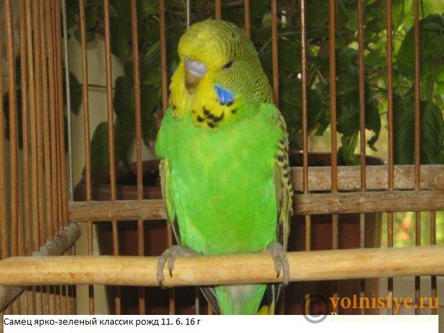 Волнистые попугаи выставочного типа молодежь Москва - IMG_8376.JPG