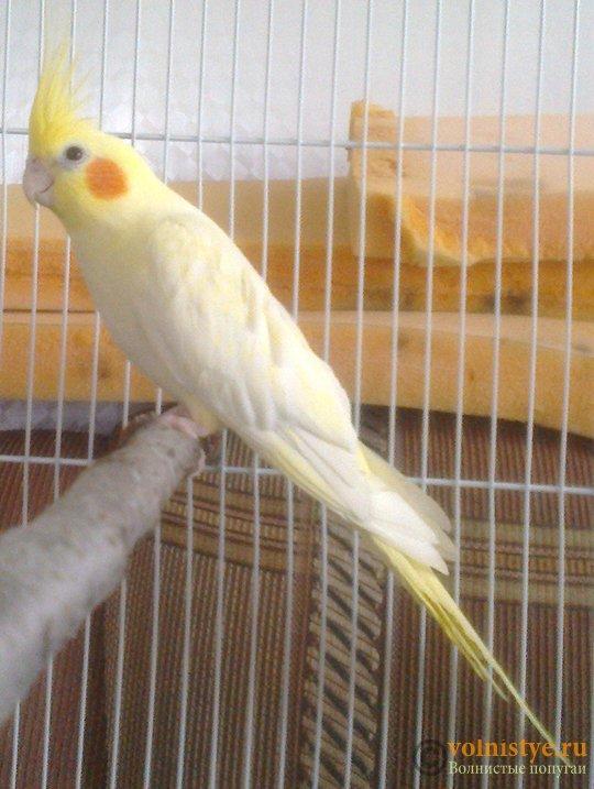 Определение пола и возраста попугаев корелла - psatkha_1.jpg