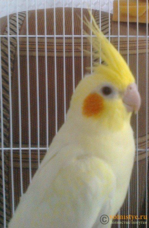 Определение пола и возраста попугаев корелла - psatkha_2.jpg