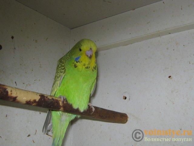 Волнистые попугаи выставочного типа молодежь Москва - IMG_8577.JPG