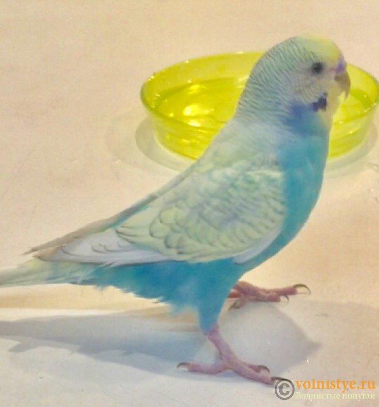 Улетел попугай с Астраханского переулка  *HELP* - Арчи.jpg