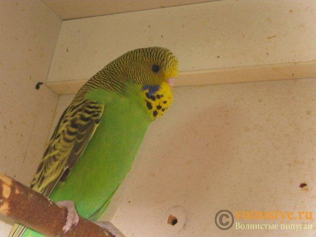 Волнистые попугаи выставочного типа молодежь Москва - IMG_8601.JPG