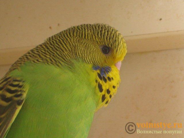 Волнистые попугаи выставочного типа молодежь Москва - IMG_8604.JPG
