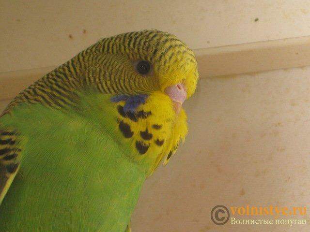 Волнистые попугаи выставочного типа молодежь Москва - IMG_8606.JPG