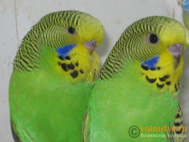 Волнистые попугаи выставочного типа молодежь Москва - IMG_8961.JPG