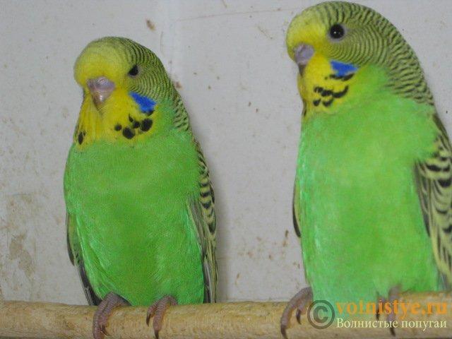 Волнистые попугаи выставочного типа молодежь Москва - IMG_8952.JPG