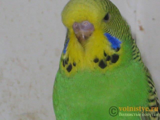Волнистые попугаи выставочного типа молодежь Москва - IMG_8948.JPG