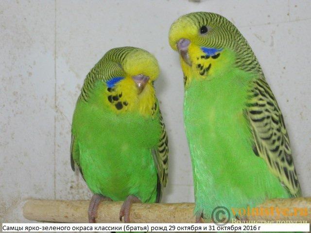 Волнистые попугаи выставочного типа молодежь Москва - IMG_8984.JPG