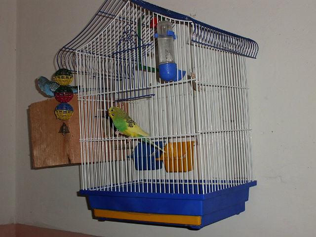 Птенец волнистого попугая не встает на ноги - getImage.jpg