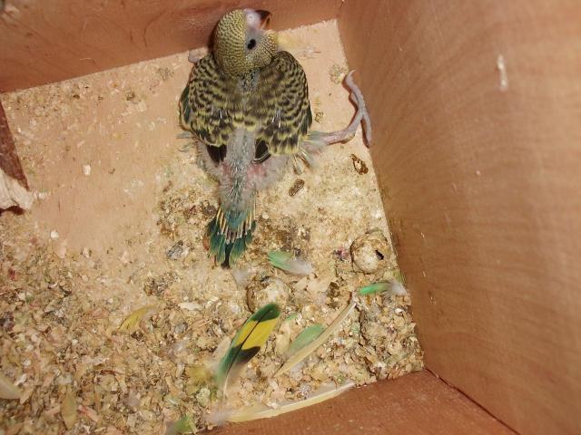 Птенец волнистого попугая - CIMG9848.JPG