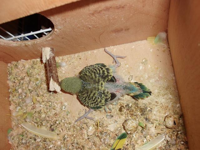 Птенец волнистого попугая - CIMG9860.JPG