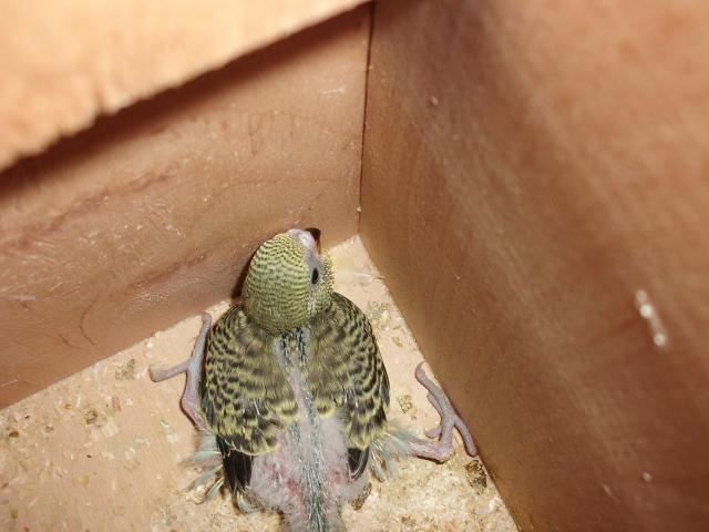 Птенец волнистого попугая - CIMG9855.JPG
