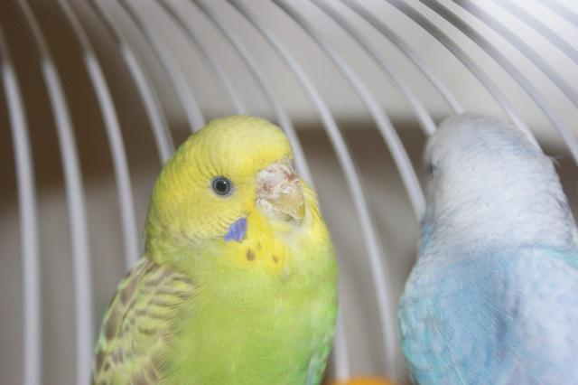 Клещ у волнистого попугая - DSC02438_2.jpg