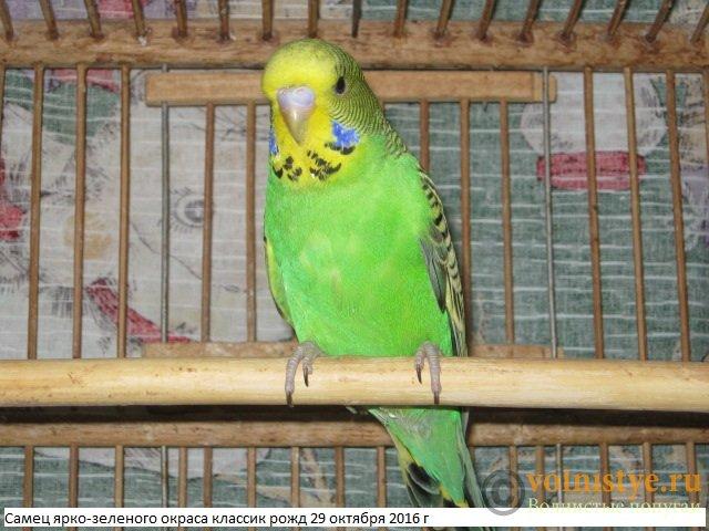 Волнистые попугаи выставочного типа молодежь Москва - IMG_9060.JPG