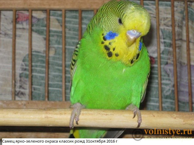 Волнистые попугаи выставочного типа молодежь Москва - IMG_9075.JPG