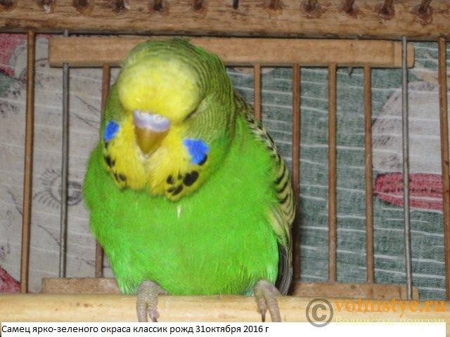 Волнистые попугаи выставочного типа молодежь Москва - IMG_9079.JPG