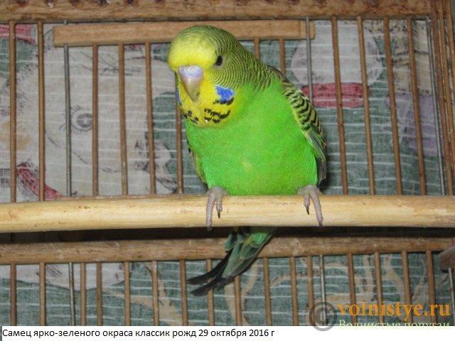Волнистые попугаи выставочного типа молодежь Москва - IMG_9067.JPG