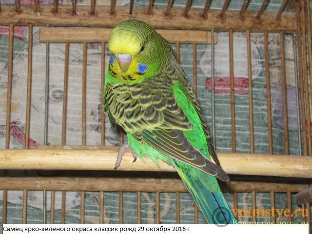Волнистые попугаи выставочного типа молодежь Москва - IMG_9068.JPG