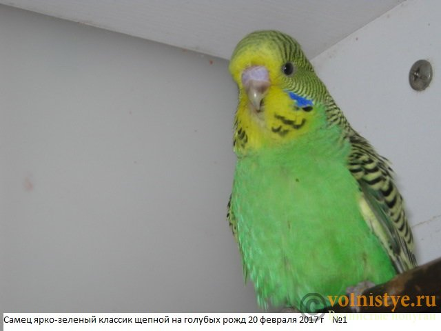 Волнистые попугаи выставочного типа молодежь Москва - IMG_9437.JPG