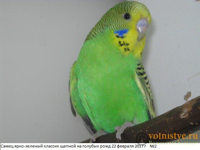 Волнистые попугаи выставочного типа молодежь Москва - IMG_9458.JPG